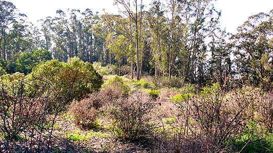 Mt. Sutro native plant Rotary meadow