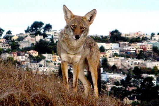 Coyote on Twin Peaks, San Francisco, photo by Janet Kessler