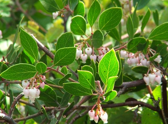 Franciscan Manzanita, San Francisco Native Shrub