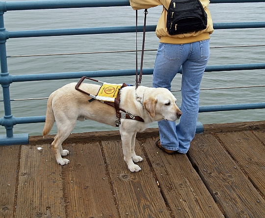 Downtown Guide Dogs, San Francisco, photo from Flickr stream of bossco