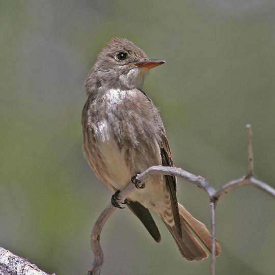 Olive-sided_Flycatcher_DonnerPark [photo by Martin Meyers]