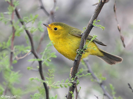 Wilson's Warbler [photo by Terry Sohl]